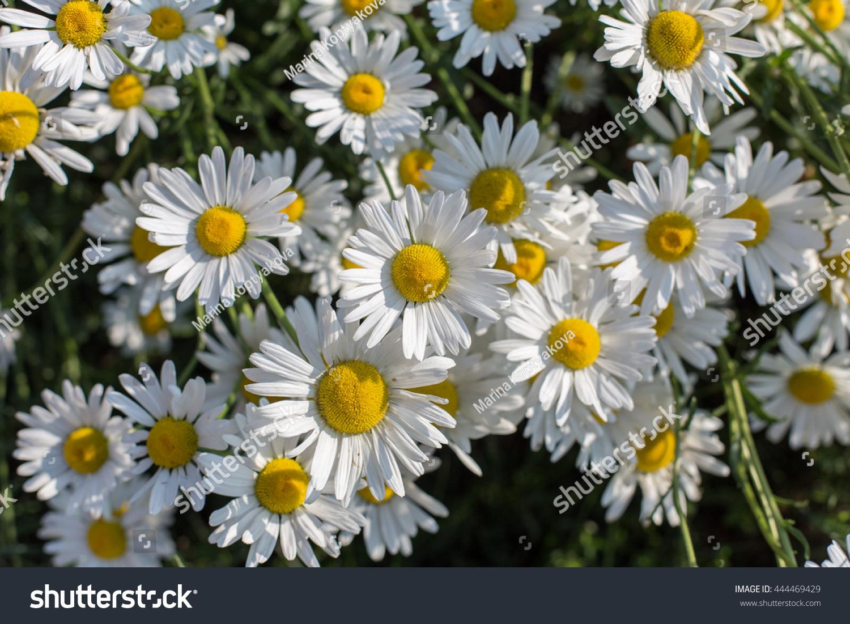 Many White Flowers Daisies Symbol Camomiles Stock Photo Royalty