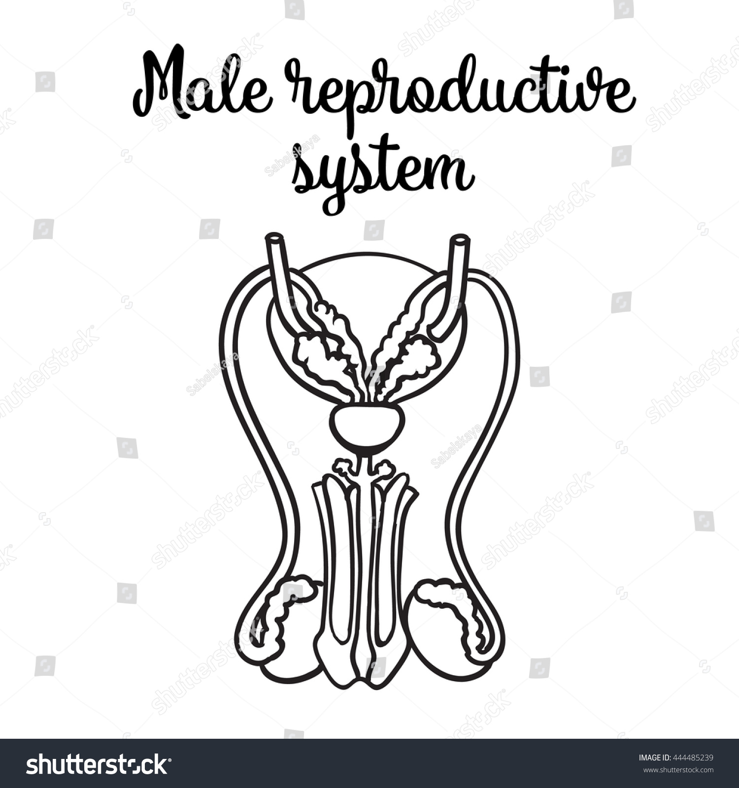 male reproductive system vector sketch handdrawn stock vector