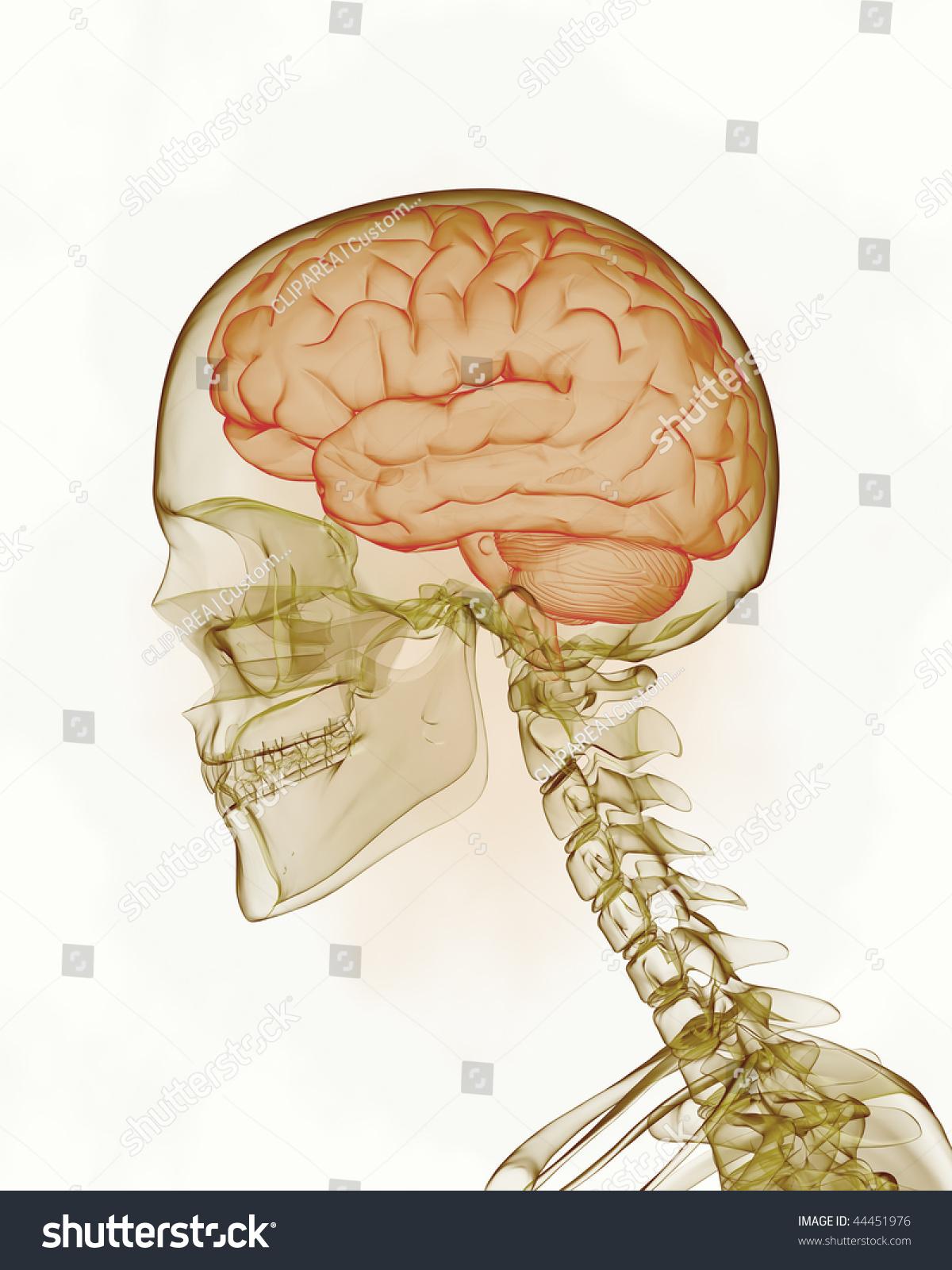 Human Brain Skull Stock Illustration 44451976 - Shutterstock