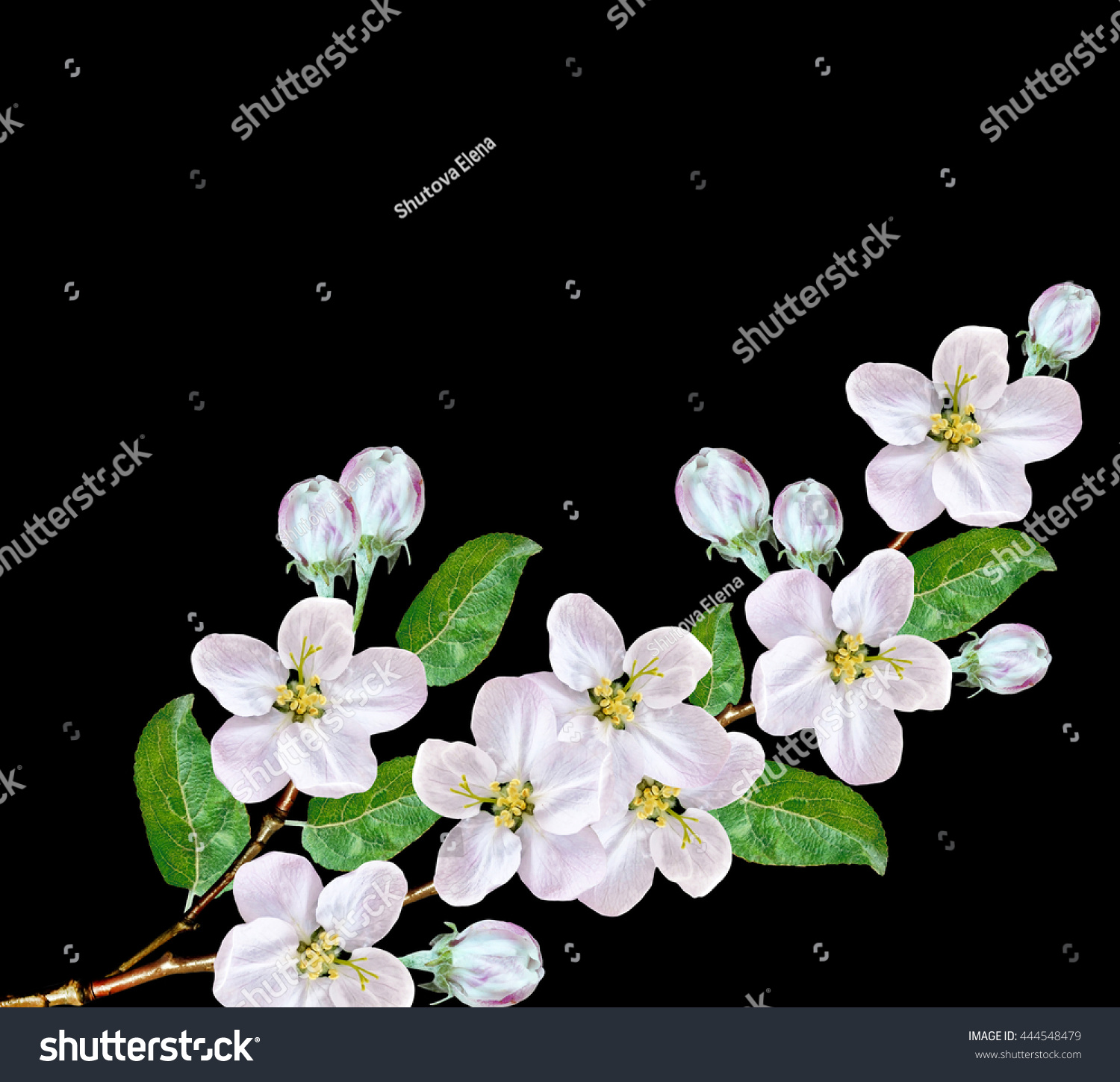 Beautiful Delicate White Flowers Apple Blossom Stock Photo Edit Now