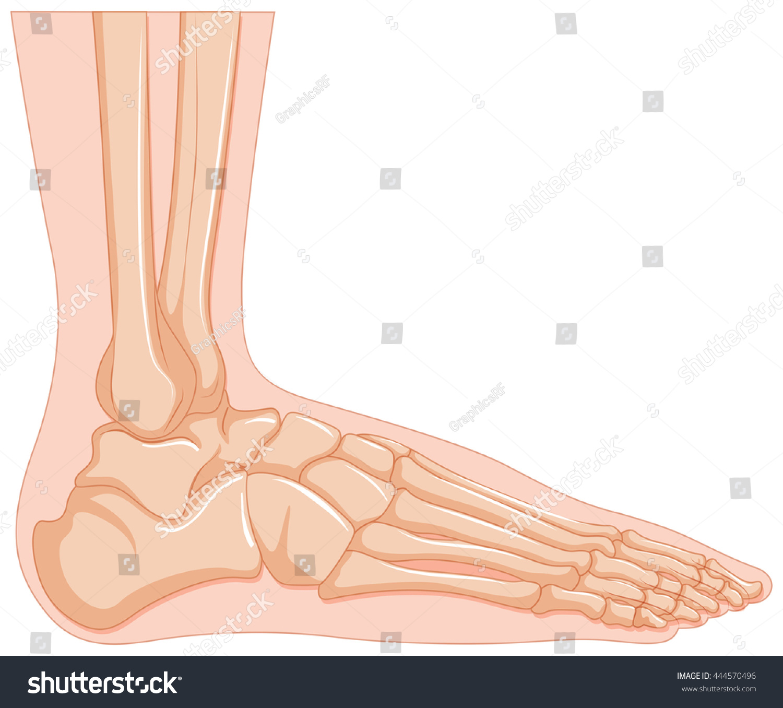 Inside Human Foot Bone Illustration Stock Vector HD (Royalty Free ...