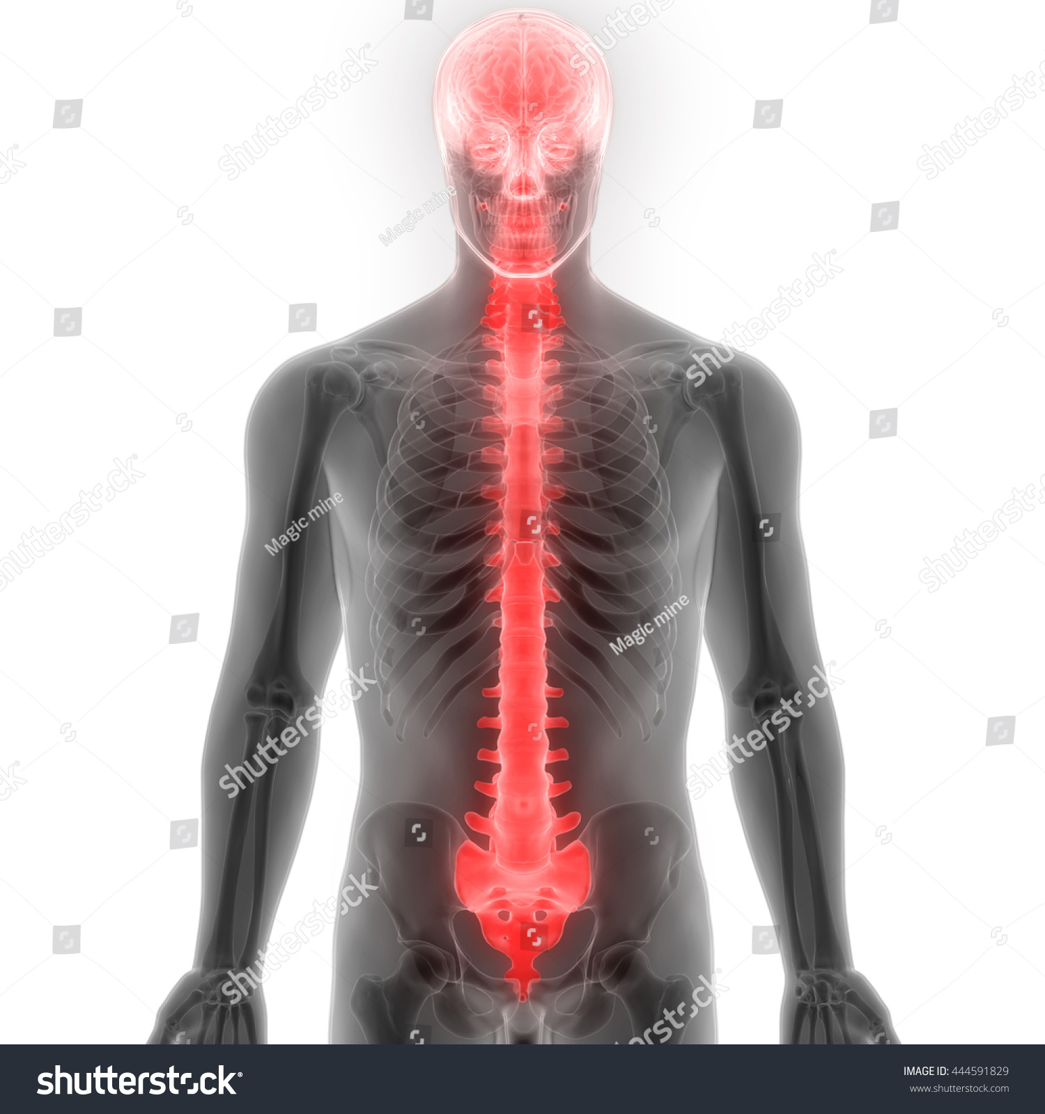 Brain Spinal Cord Anatomy 3 D Stock Illustration - Royalty Free ...