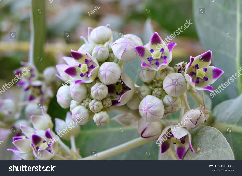 White Flowers Purple Center Stock Photo Edit Now 444611323