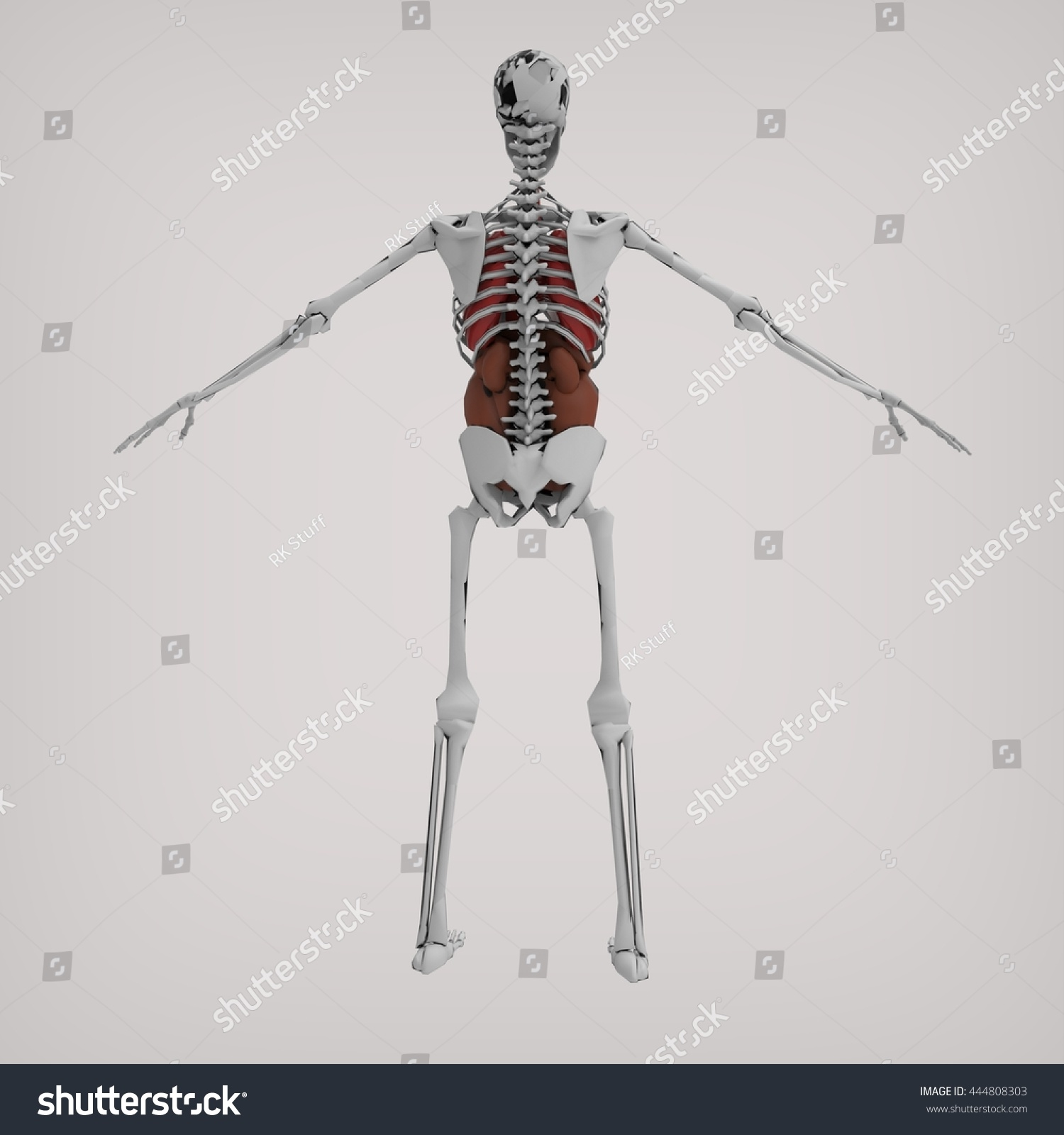Royalty Free Stock Illustration Of Human Skeleton Back Anatomy 3 D