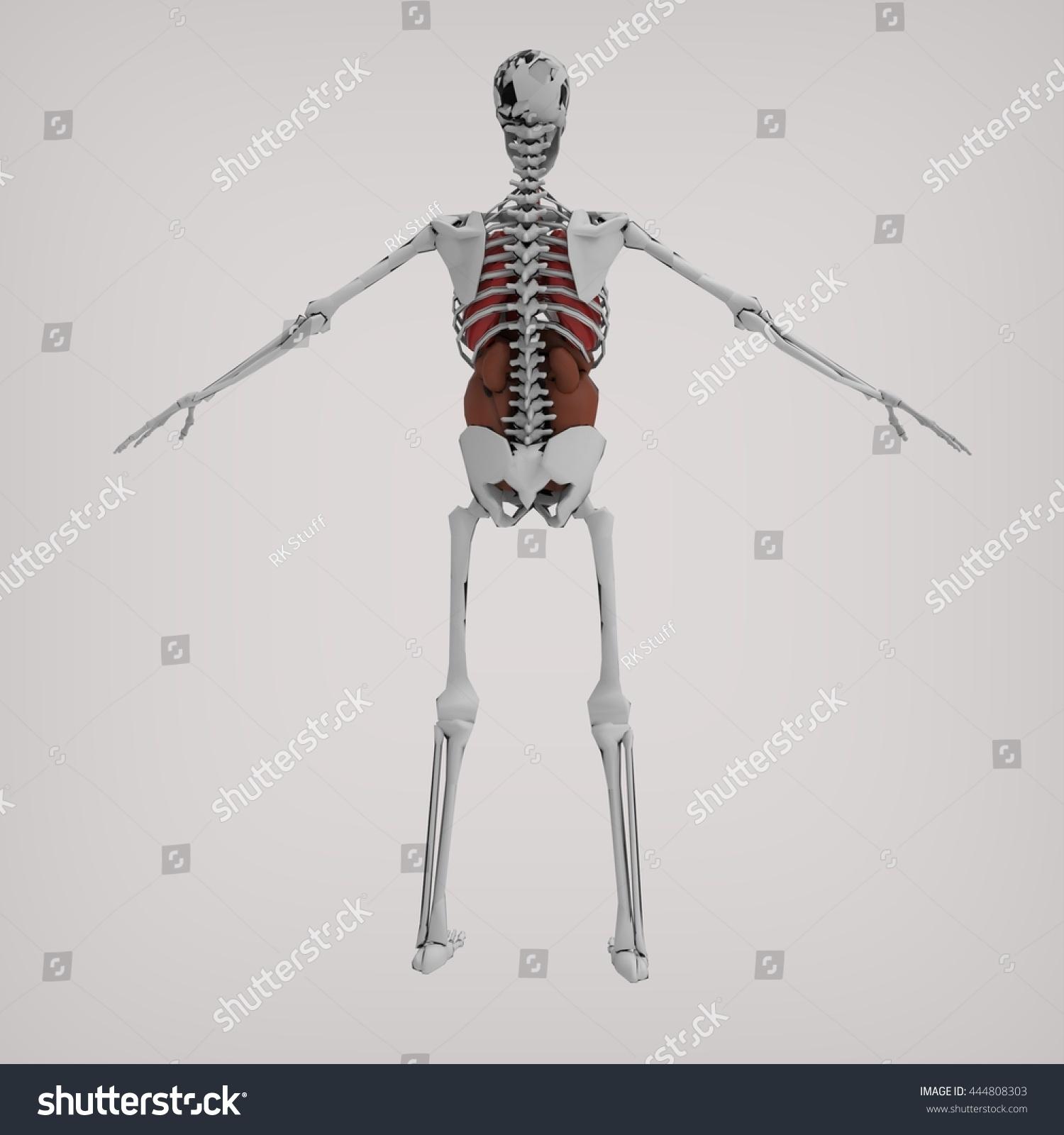 Human Skeleton Back Anatomy 3 D Rendering Stock Illustration ...