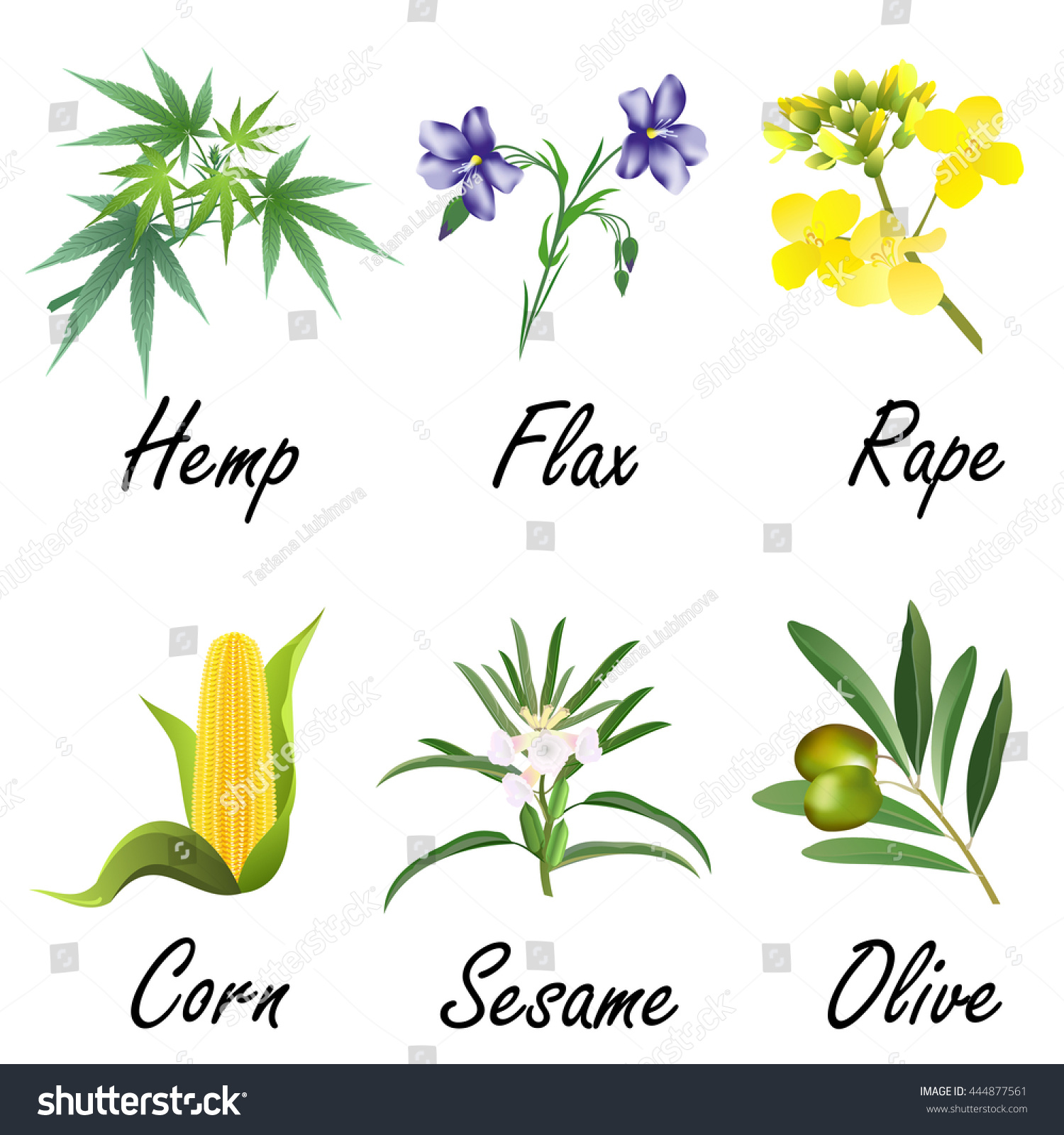 Edible Oil Plants : Set plants used vegetable oil production stock vector