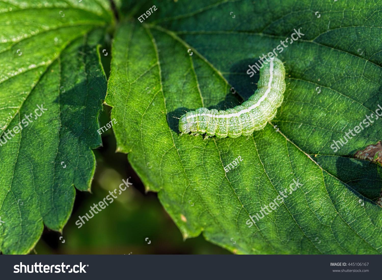 big green caterpillar on leaf stock photo 445106167 shutterstock