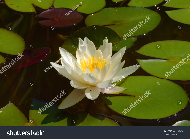 Pond lily lotus flower in small lake ez canvas id 445197400 izmirmasajfo