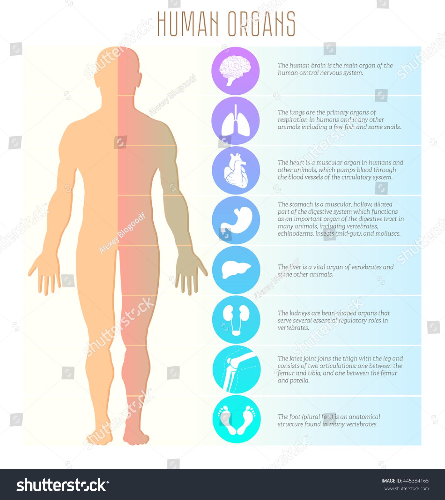 Human Body Brain Lungs Diagram Diy Enthusiasts Wiring Diagrams