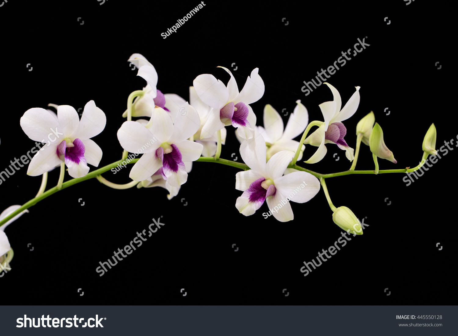 White Orchid With Purple Center Black Background