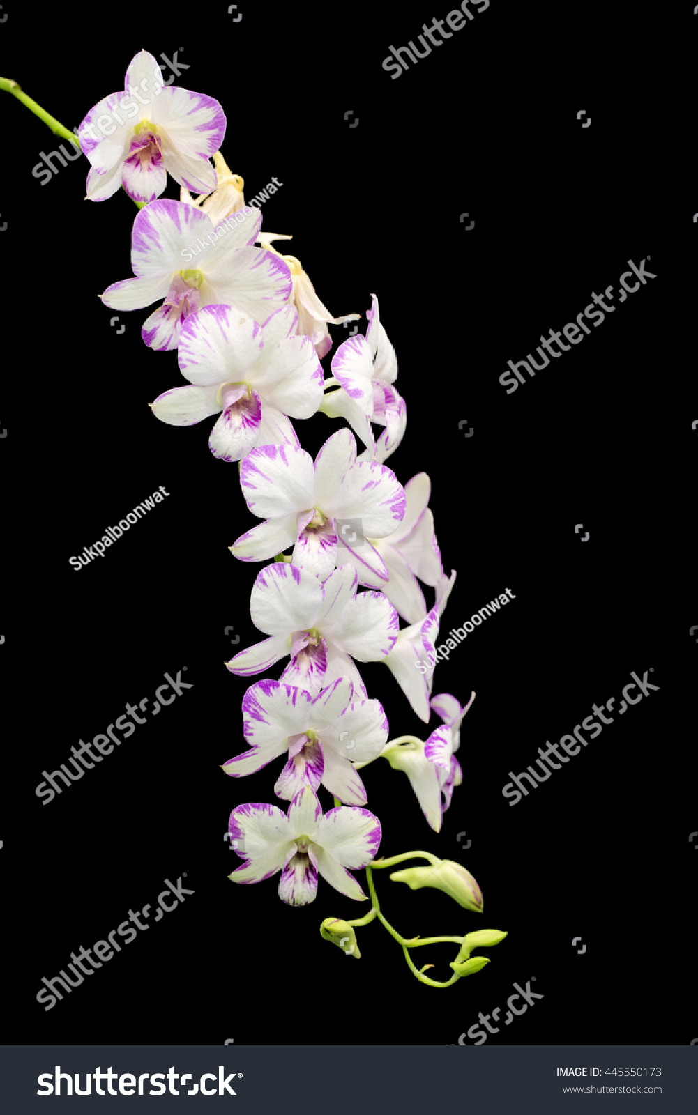 San Phalaenopsis Type Dendrobium Hybrid Purple And White Flowers Orchids In The Park 2016