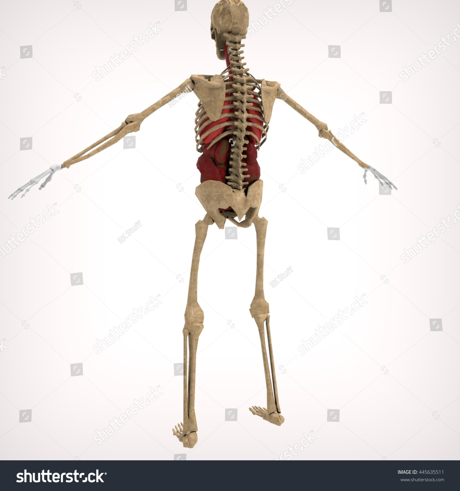 Human Skeleton Back 3 D Rendering Stock Illustration 445635511