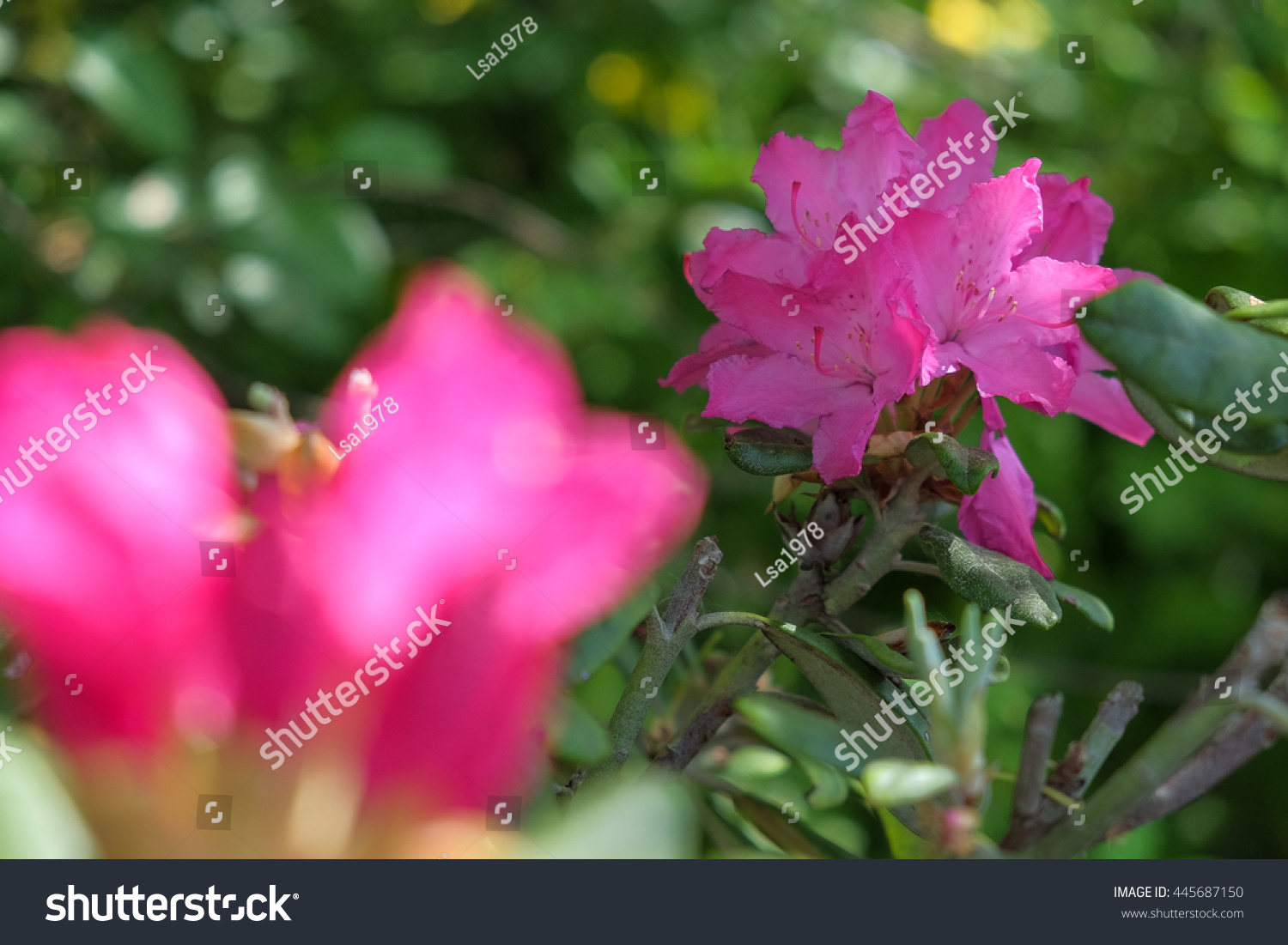 Pink Blooming Garden Flowers Blurry On Stock Photo Royalty Free