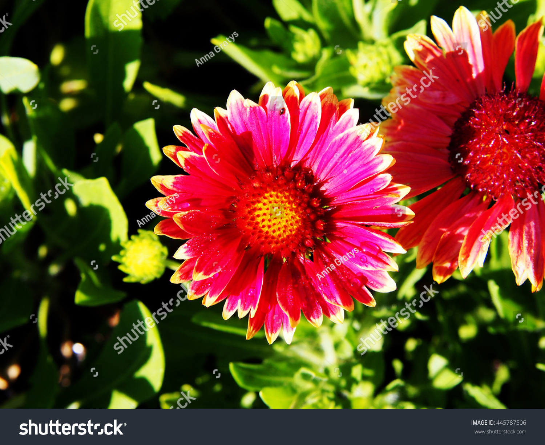 Red And Yellow Gaillardia Aristata Common Blanketflower In Full