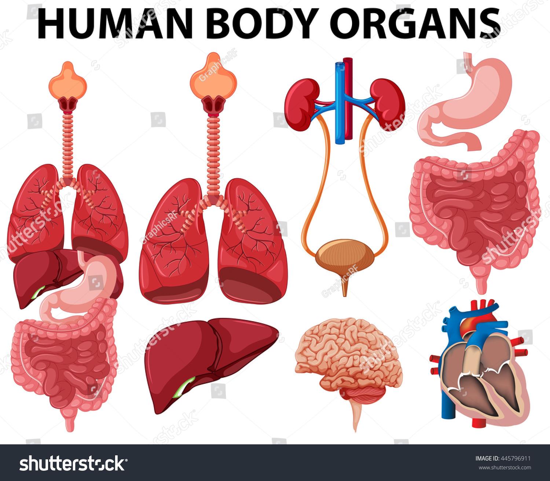 Different Type Human Body Organs Illustration Stock Vector 445796911 ...