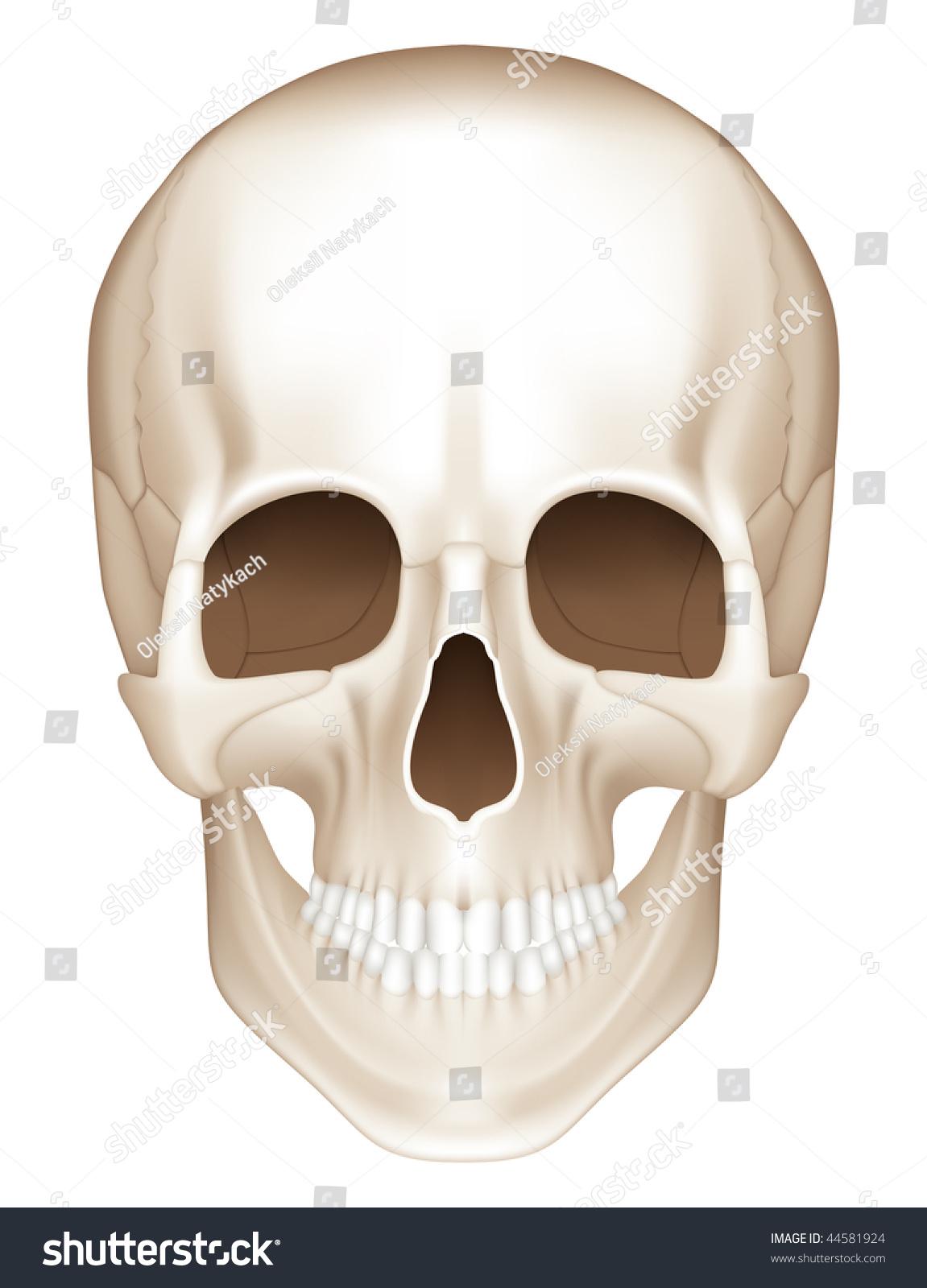 Human Skull Front View Mesh Stock Vektorgrafik Lizenzfrei 44581924