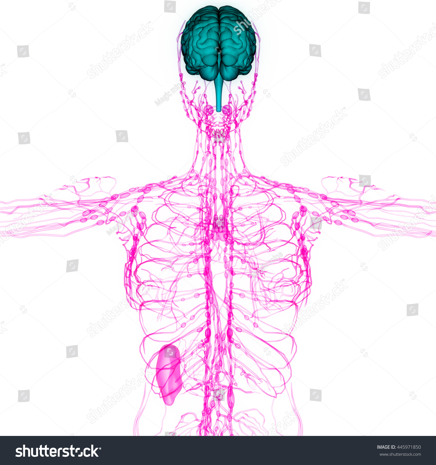 Human Brain Nerves Lymph Nodes Anatomy Stock Illustration 445971850 ...