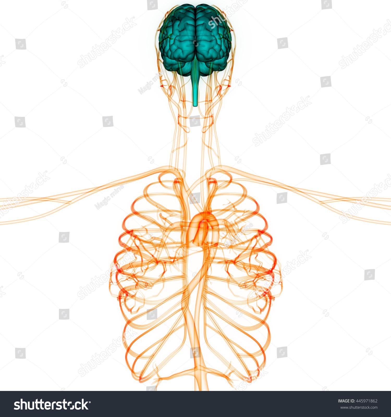Arteries And Veins Anatomy Image Collections Human Body Anatomy