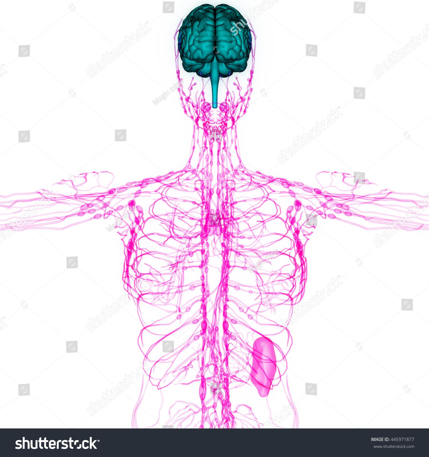 Human Brain Nerves Lymph Nodes Anatomy Stock Illustration 445971877 ...