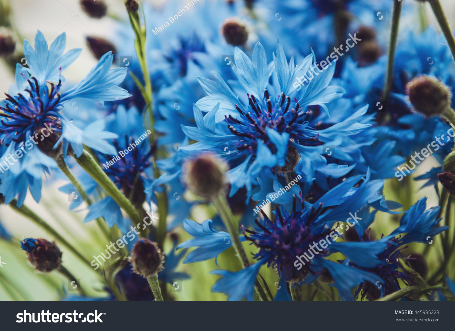 Summer Wallpaper Of Blue Cornflower Green Spica Flowers With Bokeh And Copy Space Floral