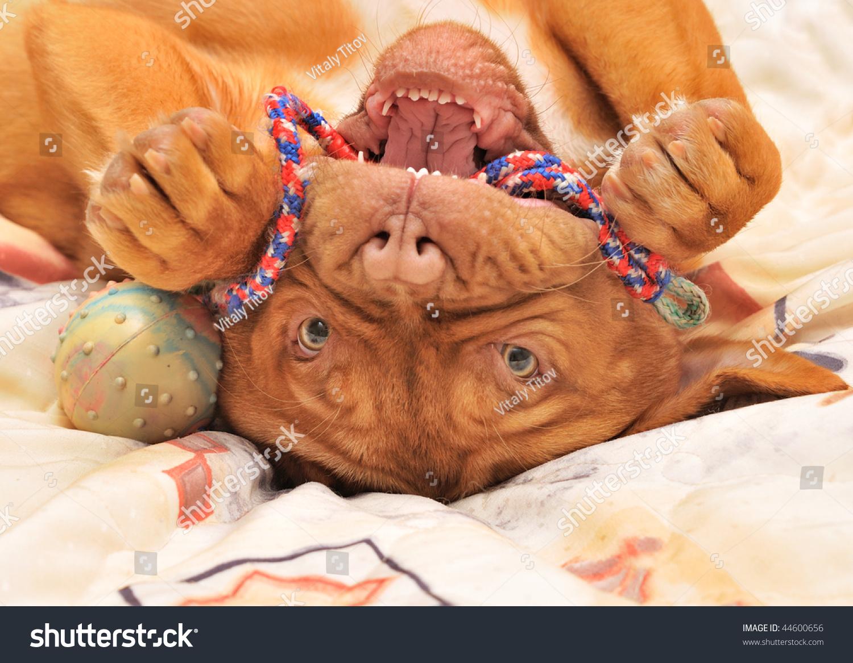 Dogue De Bordeaux Puppy Lying Upside Stock Photo 44600656