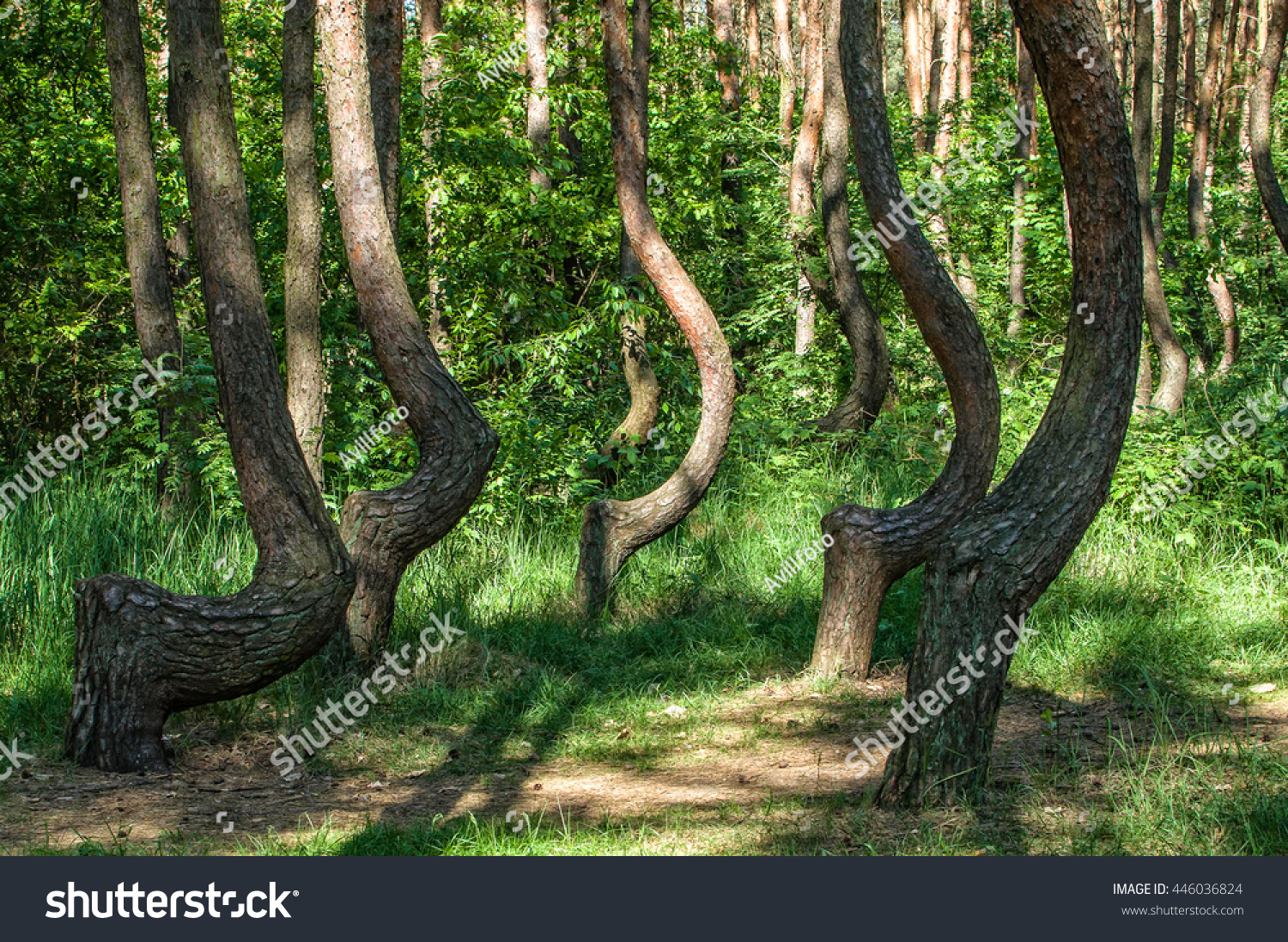 Crooked Forest Oddlyshaped Pine Trees Nowe Stock Photo Edit Now 446036824,Best Paint For Bathroom Ceiling To Prevent Mold Australia