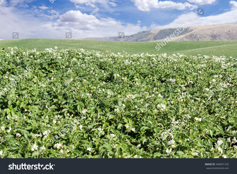 Field Blossoming White Flowers Potato Plants Stock Photo Edit Now