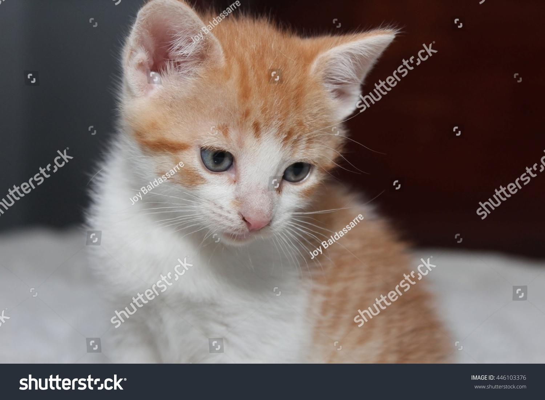 Orange White Kitten Stock Shutterstock