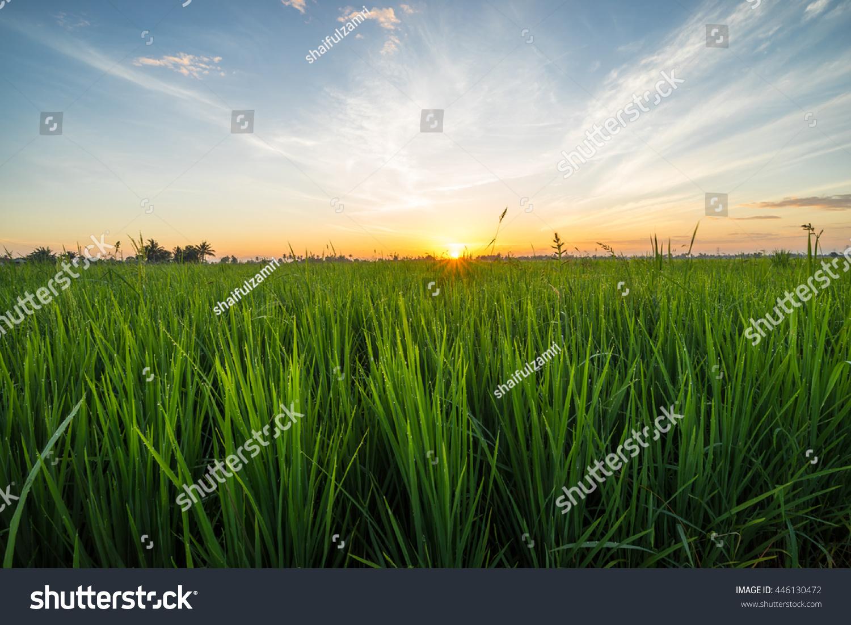 paddy field sunrise sungai besar malaysia の写真素材 今すぐ編集