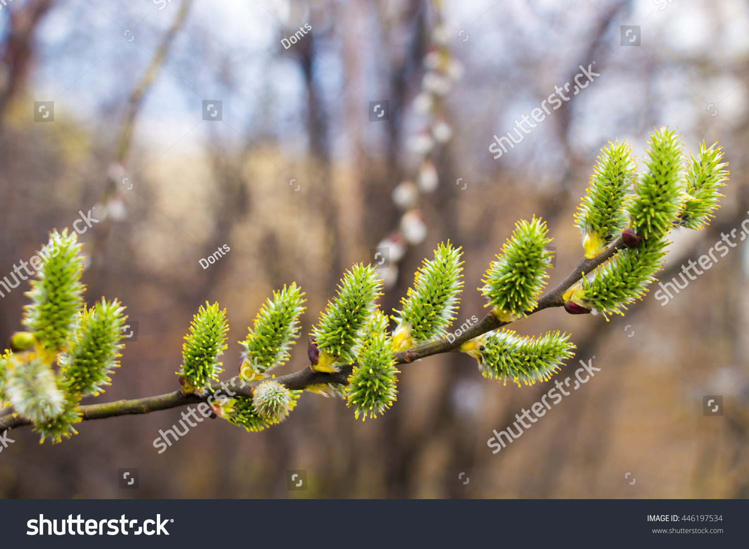 blossoming branch of pussy willow stock photo 446197534