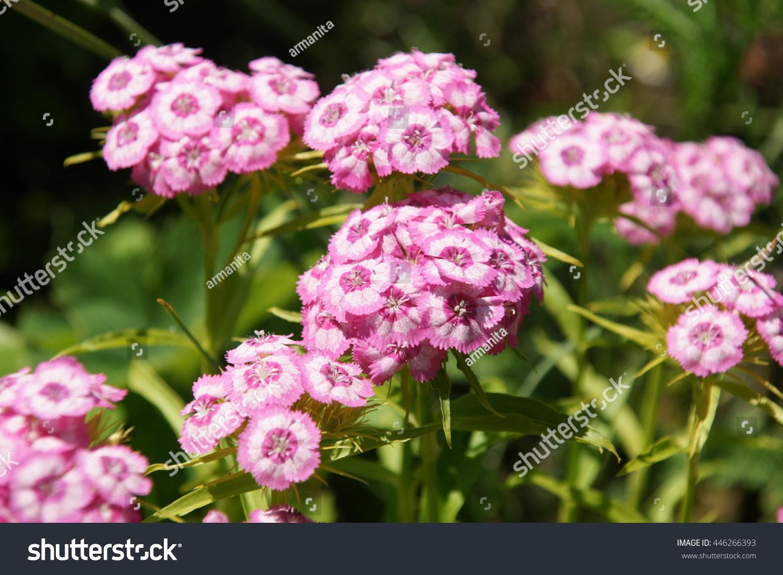 Light Pink White Circles Sweet William Stock Photo Edit Now
