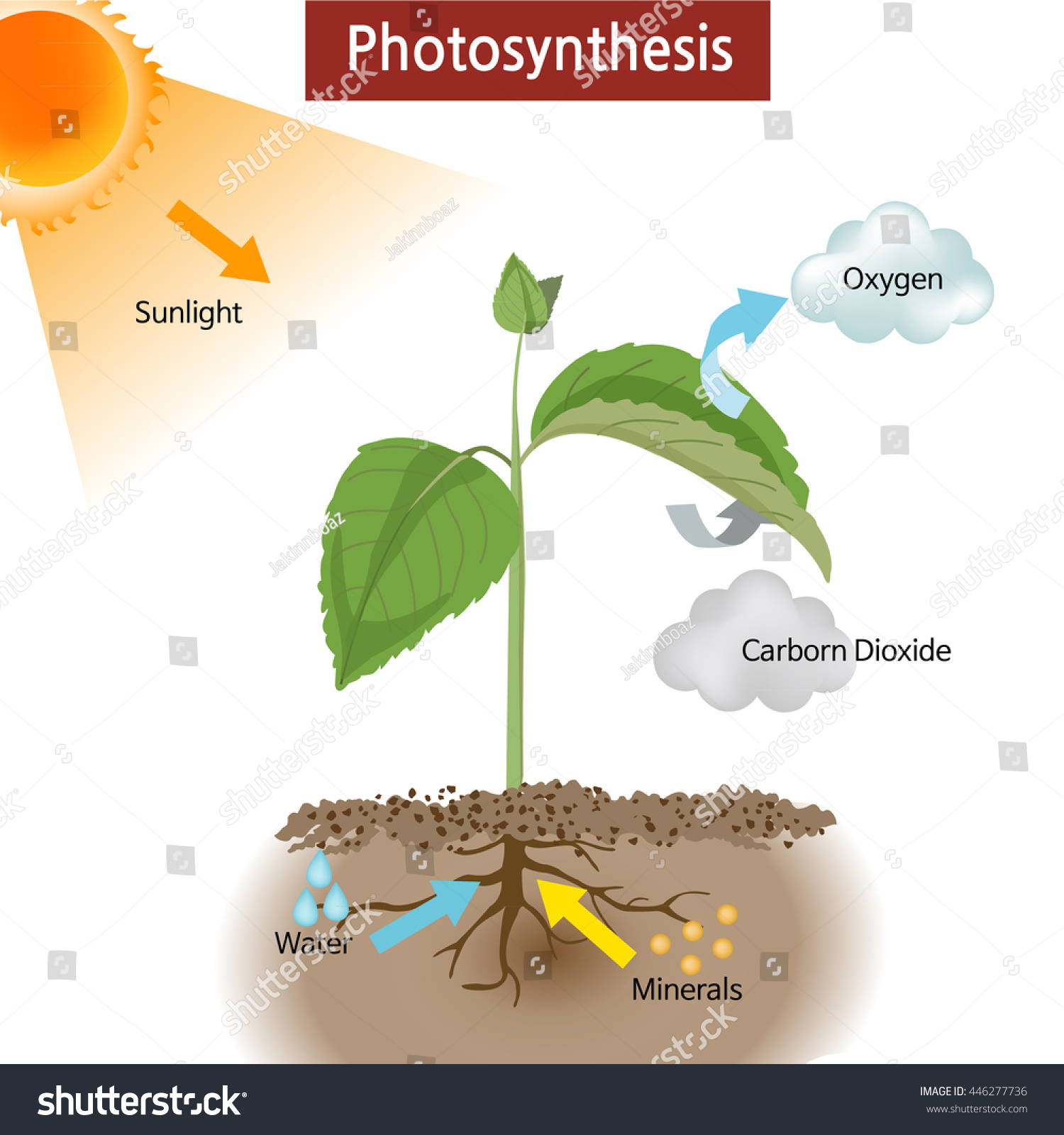 NOVA - Official Website Illuminating Photosynthesis The site of photosynthesis in a plant is