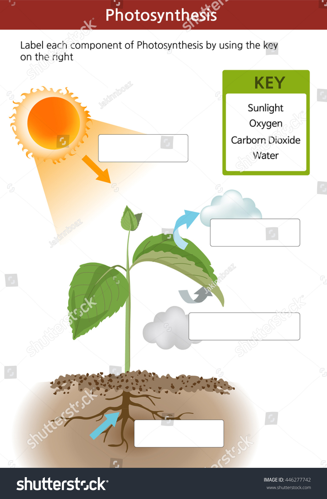 essay on photosynthesis process Custom photosynthesis essay writing service || photosynthesis essay samples, help introduction the process by which organisms such as some bacteria, green plants and some protistans convert sunlight's energy to produce cellular sugar is known as photosynthesis.
