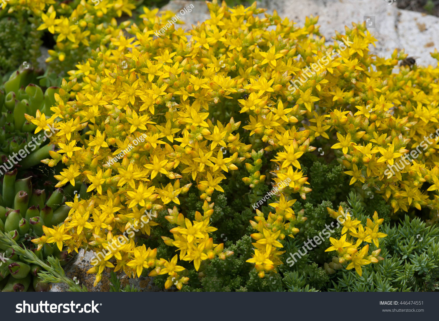 Beautiful Yellow Flowers Bush Stock Photo Edit Now 446474551
