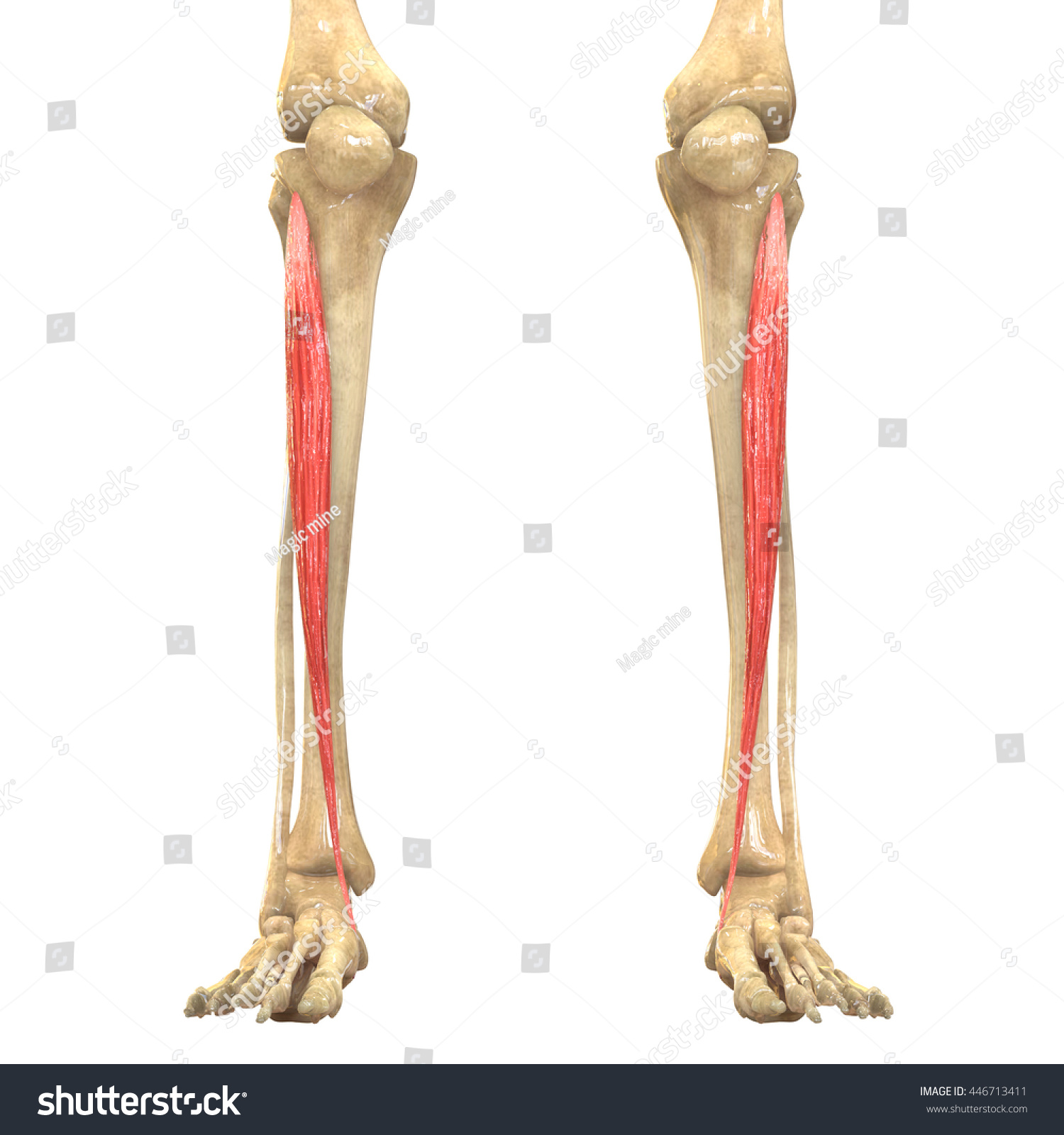 Human Body Muscles Anatomy Tibialis Anterior Stock Illustration