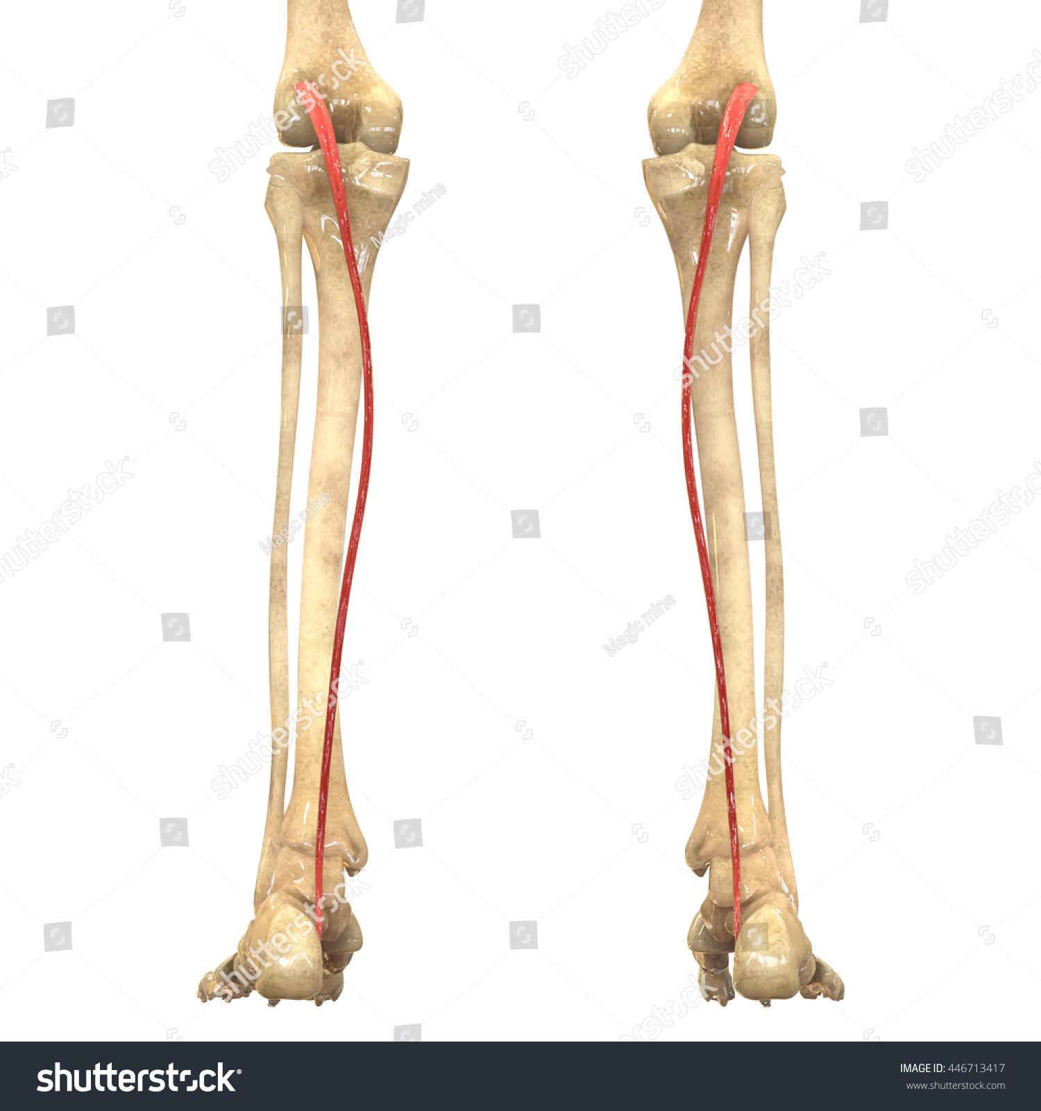Human Body Muscles Anatomy Plantaris 3 D Stock Illustration
