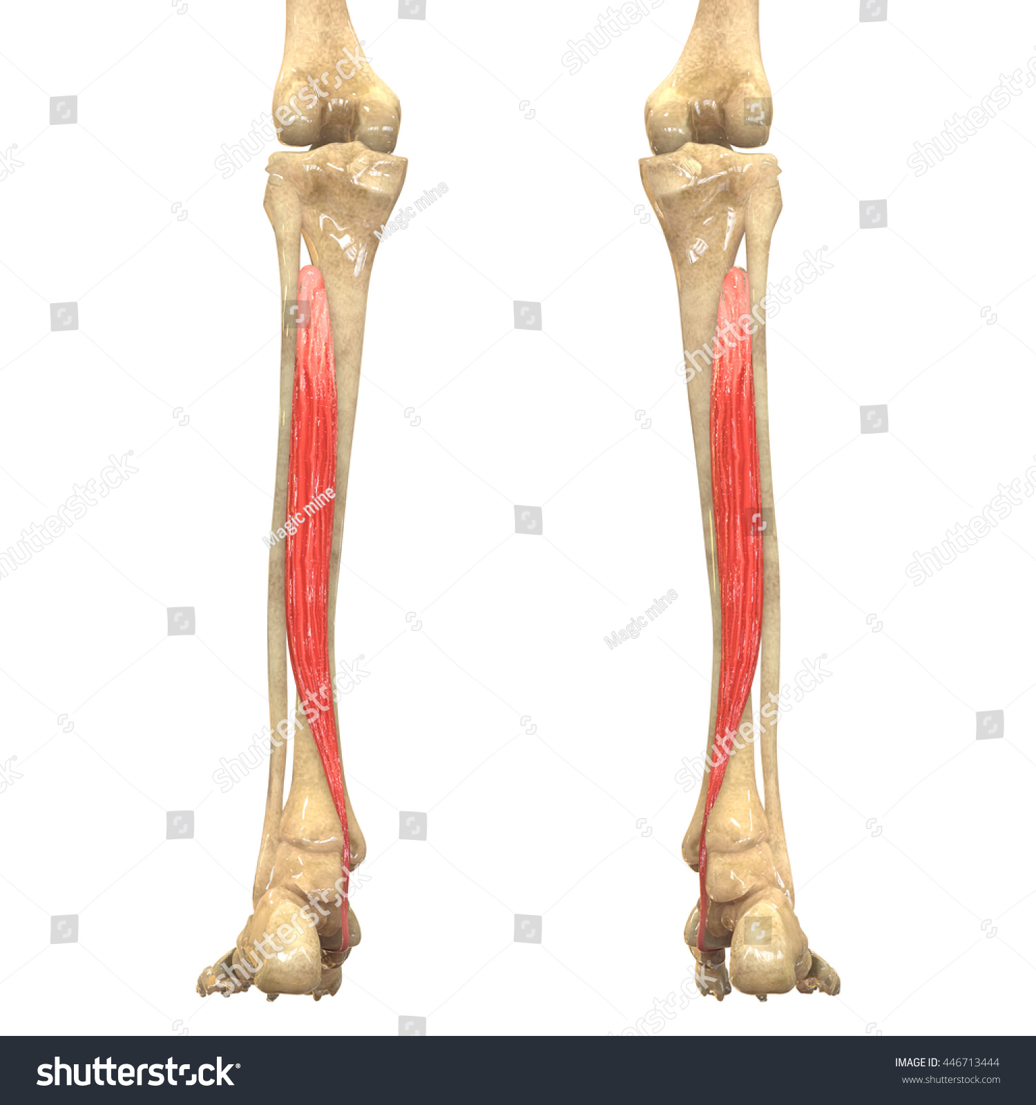 Human Body Muscles Anatomy Tibialis Posterior Stockillustration ...