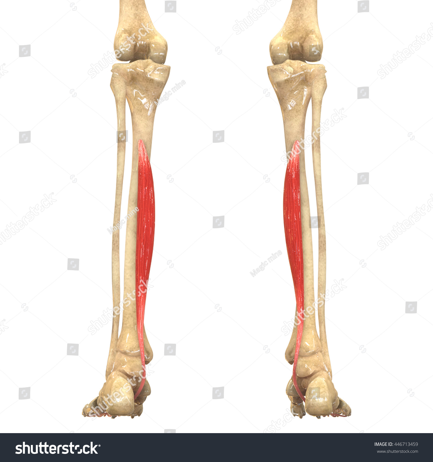 Human Body Muscles Anatomy Flexor Digitorum Stock Illustration ...