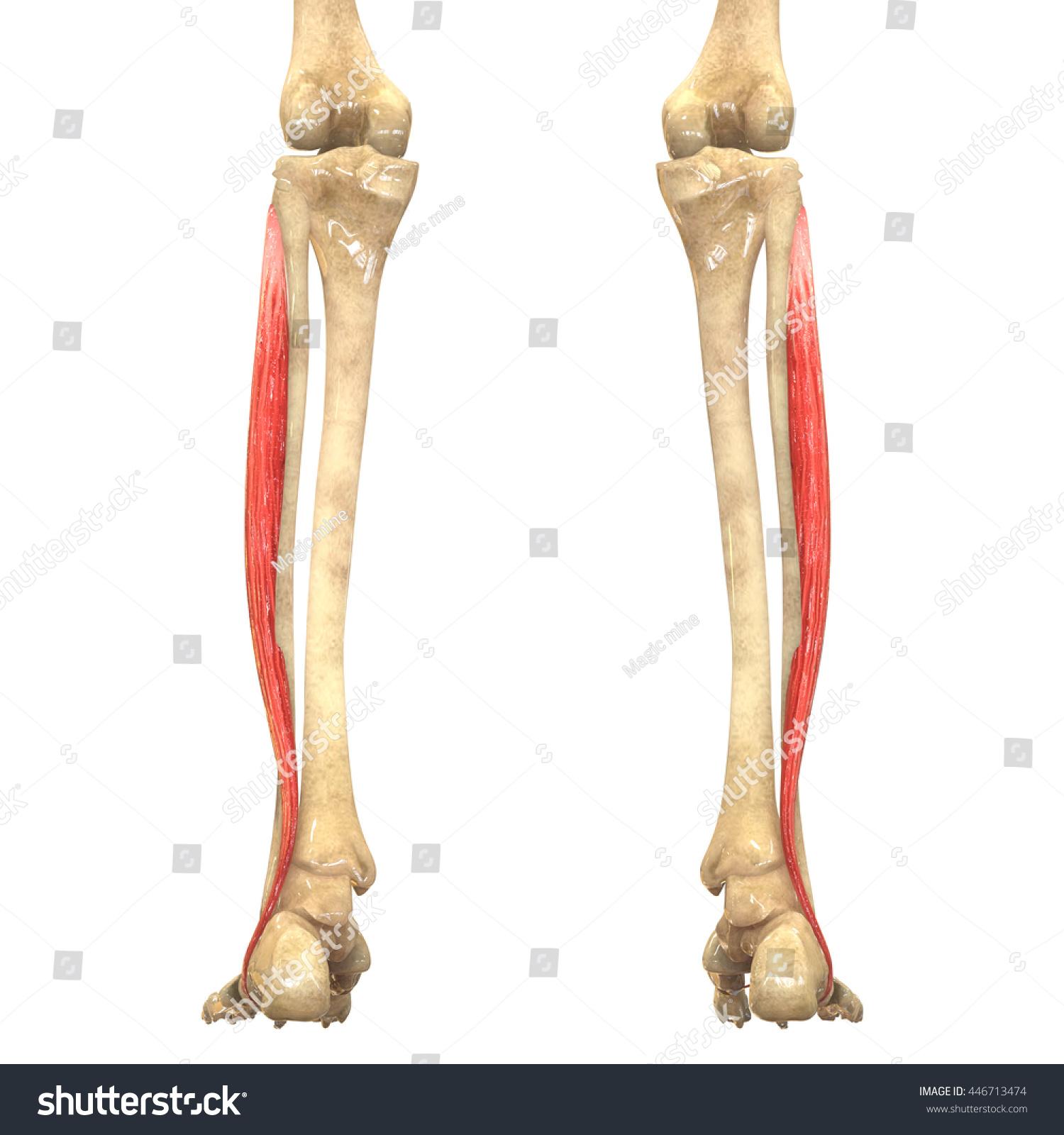 Human Body Muscles Anatomy Peroneus Longus Stock Illustration