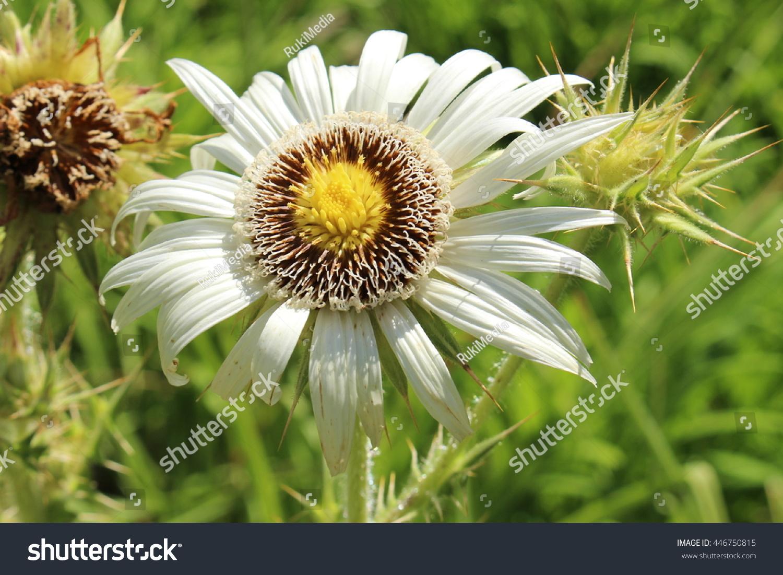 Royalty Free White Yellow Thistle Leaved Berkheya 446750815