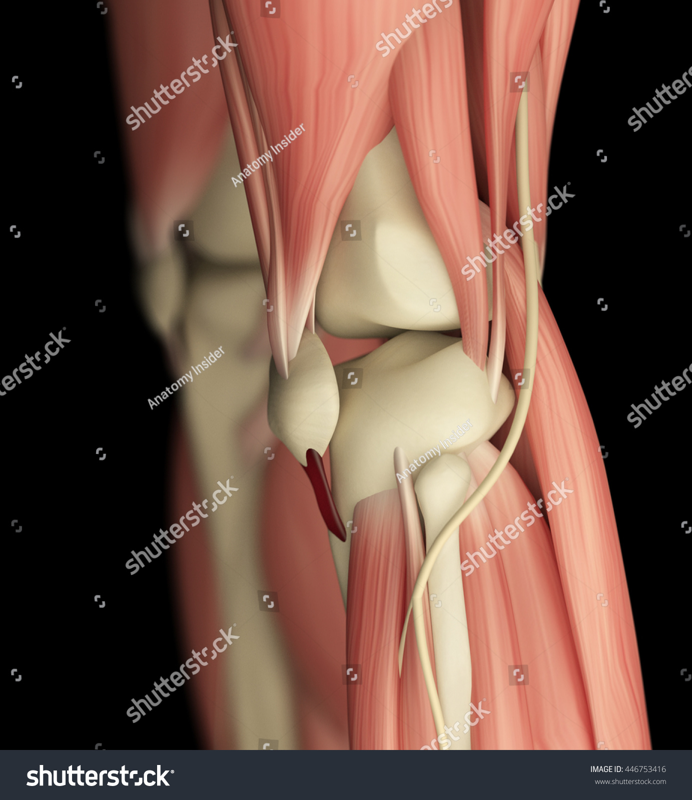 Human Anatomy Left Knee Side View Stock Illustration 446753416 ...