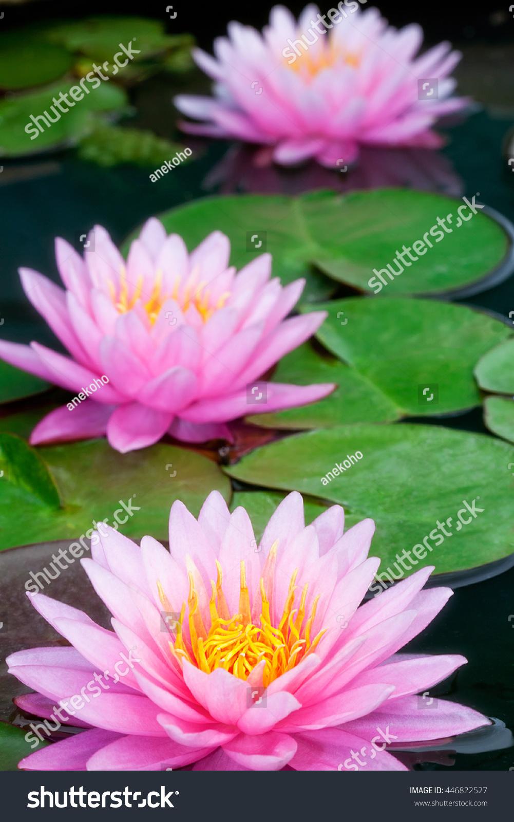 Pink Lotus. | EZ Canvas
