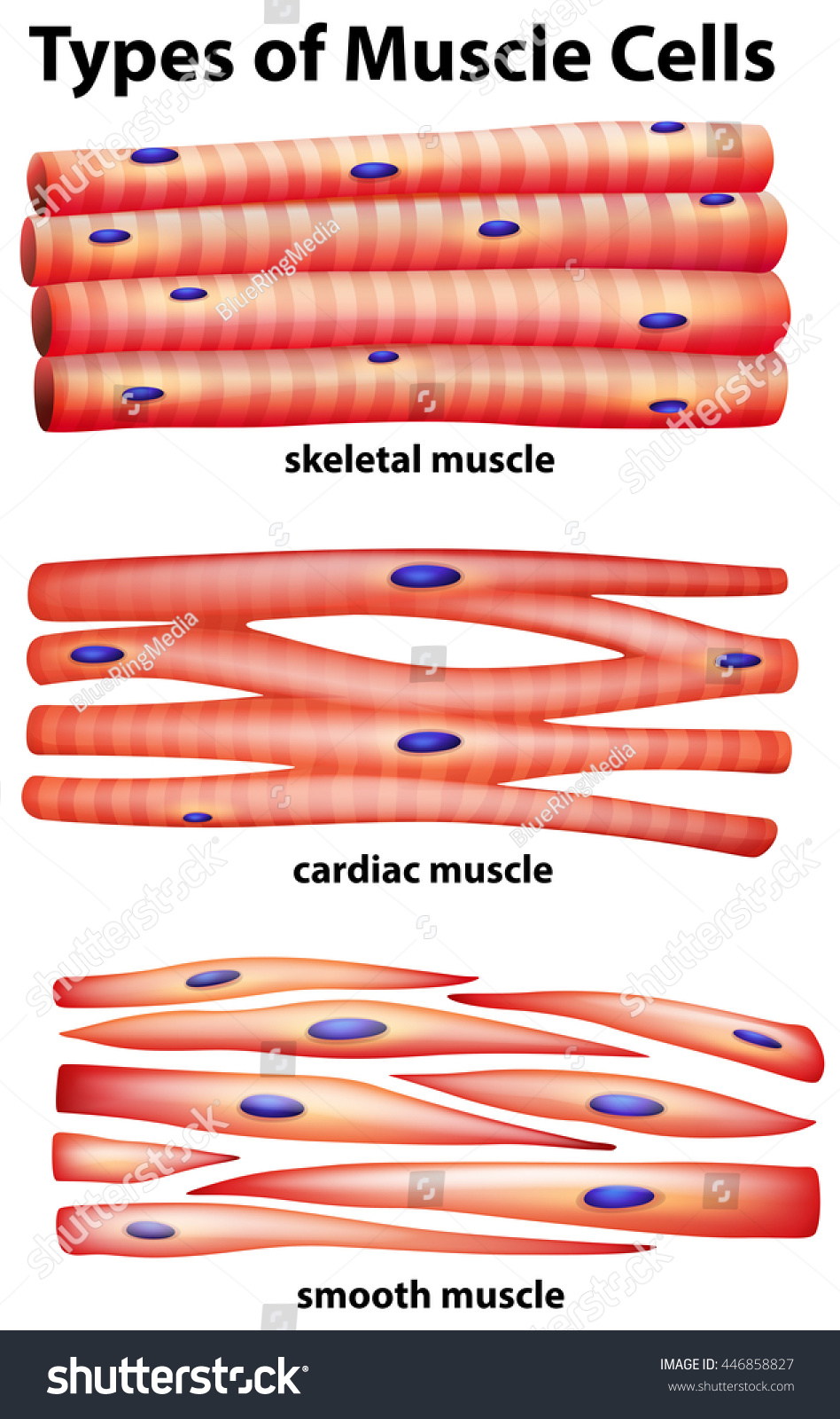 Diagram Showing Types Of Muscles Schematics Wiring Diagrams