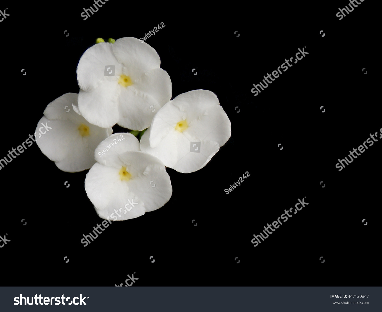 Beautiful White Gardenia Flower On Black Background Ez Canvas