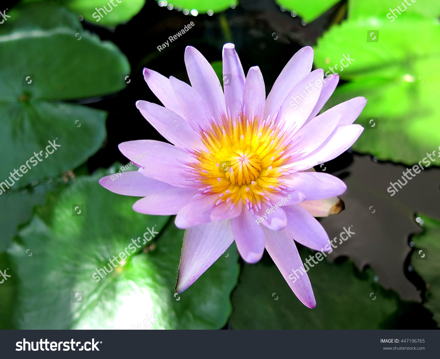 Single Blossom Lotus Flower Pond Some Stock Photo Edit Now