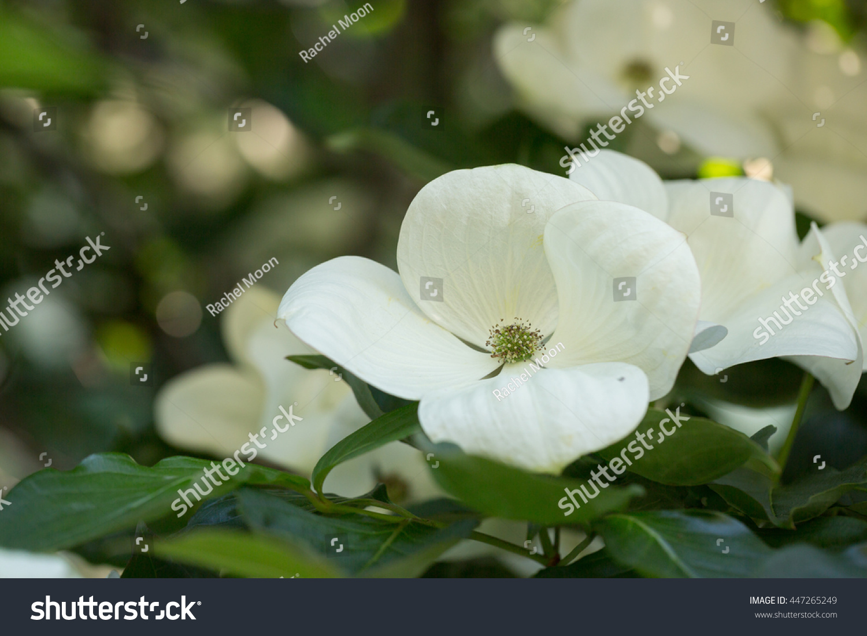 White Dogwood Flowers Garden Stock Photo Edit Now 447265249