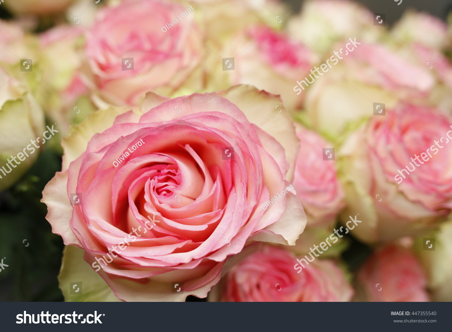 Pink White Rose Bouquet Wallpaper Stock Photo Edit Now 447355540