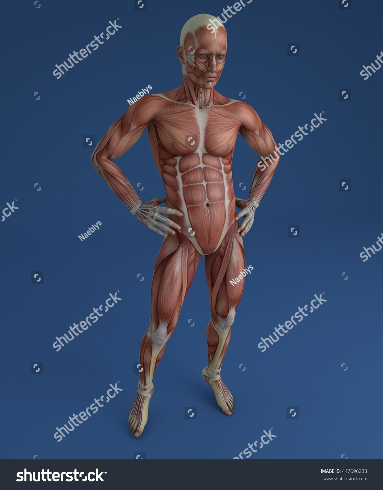 Human Body Muscular System Person Anatomy Stock Illustration