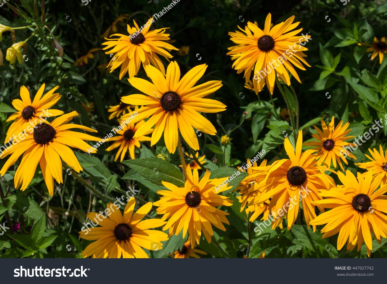 Black Eyed Susan Goldsturm Bright Yellow Stock Photo Edit Now