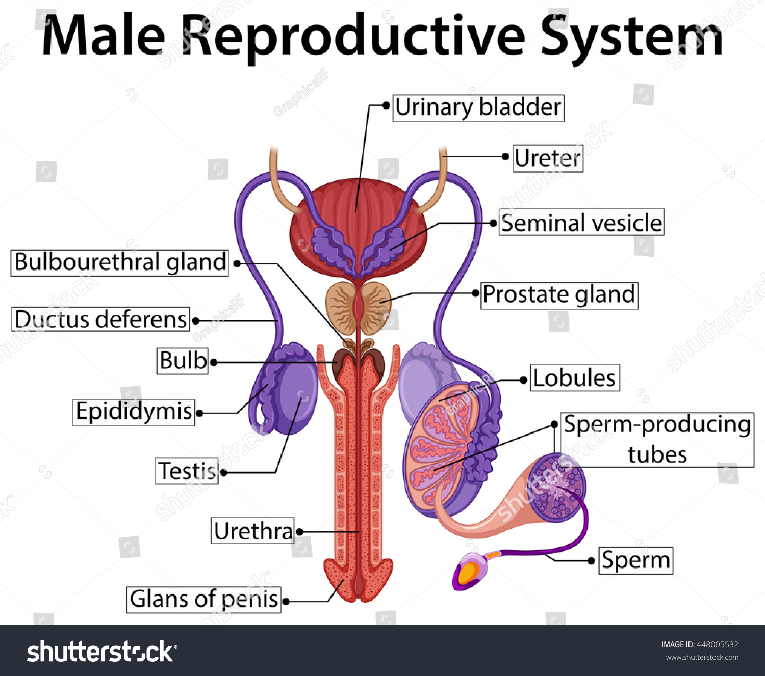 Chart Showing Male Reproductive System Illustration Stock Vector